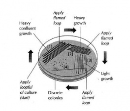 isolation of individual colonies lab A common method for the isolation of a pure culture from a mixture is by  streaking plates the inoculum is streaked over the agar surface to isolate  colonies on.